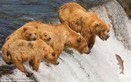 灰熊妈妈教孩子们捕鱼技巧 一口咬中两条鱼