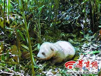 佛坪自然保护区发现棕色大熊猫幼仔 通讯员 梁启慧 摄