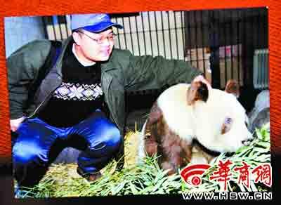 """""""丹丹""""是世界上发现的首只棕色大熊猫,它的孩子""""秦秦""""(右图)是正常的黑白大熊猫 本报资料图片"""
