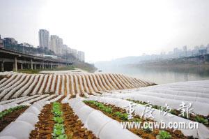 河边大棚成片,估计主城有上千亩河滩菜地,每年总产量上千吨。(资料图片)记者 史宗伟 摄