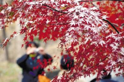 一名游客在落满积雪的枫树前拍照留念