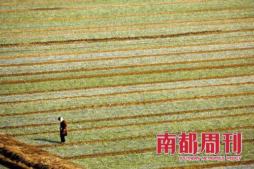 一位蒜农巡视着自家的蒜地,而这些蒜将是明年大蒜市场的货源。