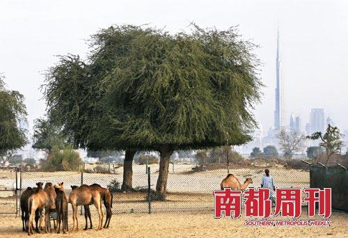 2009年11月28日,阿联酋迪拜,一名骆驼饲养者在喂骆驼。远处的背景是世界最高塔。人民图片