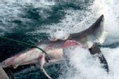 澳洲海域惊现被咬成两半的大白鲨(图)