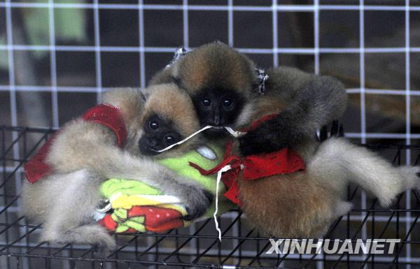 """12月14日,在广西南宁动物园,长臂猿幼崽在""""幼儿园""""里抱着""""枕头""""休息"""