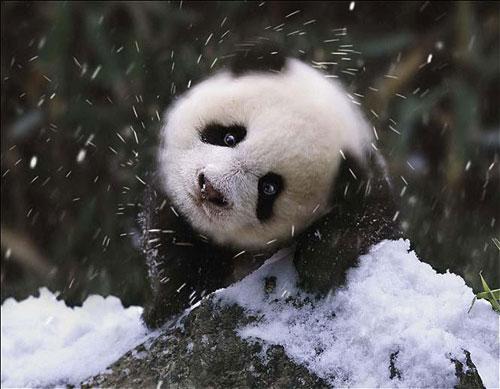 但可悲的是,这些凭借功夫熊猫等电影而广受孩子们喜欢的可爱动物,却