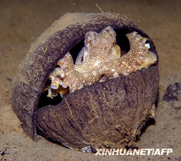 """聪明组图用章鱼壳当""""保护伞""""(蜜蜂)怎样v组图椰子和技术管理图片"""
