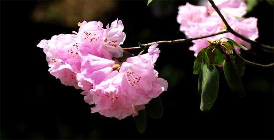 5月 神农架第四届高山杜鹃花节