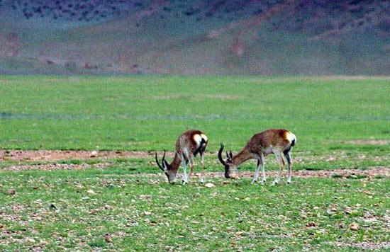 自然景观    羌塘无人区地形复杂,地貌奇特,显现出一种原始的山岩风貌,这里完整保留了大自然原始的生态面貌,奇特的喀斯特地貌,使人惊叹大自然还保留有一块如此壮丽的原始土地。正因为人烟极为稀少,使这里成为了藏羚羊、野牦牛、藏野驴与藏原羚(白臀羊)等珍稀野生动物群的游乐天堂。在众多的高原野生动物保护区中,羌塘无人区被保护得最好,种群数量也最多,因而是目前世界上高寒生态系统尚未遭受破坏的最完好地区。   普若岗日冰原位于双湖以北120公里以外,最高点海拔6278米,被确认为世界上除南极、北极以外最大的