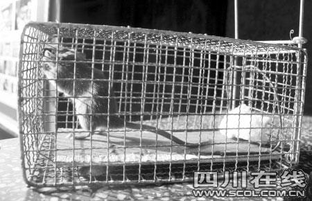 居民改装铁笼放佳肴诱捕老鼠 1个月捕获5只(图)