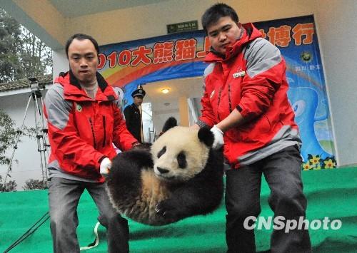 """雅安大熊猫基地_十只大熊猫宝宝入住上海动物园""""新家""""(组图)-搜狐新闻"""