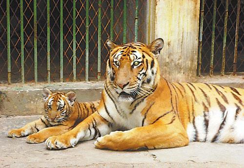南昌动物园呼吁市民认养老虎 费用为1000元一年