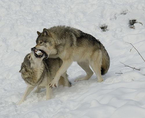 资料图:狼