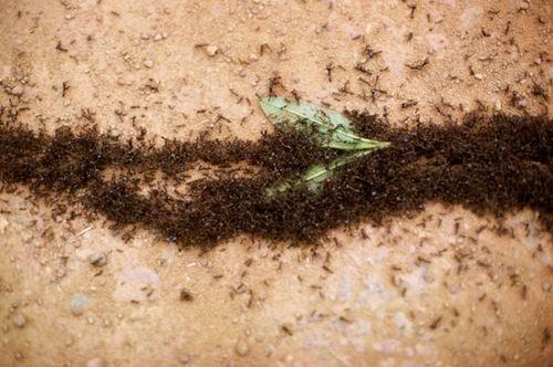 组图:奇妙蚂蚁世界 全球蚂蚁总重与人类相当