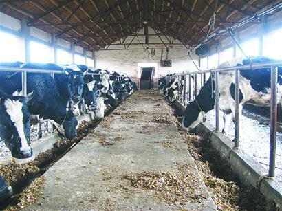 以前,两边挤满肥肥胖胖的奶牛,而现在由于原奶收购价太低,奶农更多的时候只给它们吃营养价值最低的玉米秸秆,这让它们瘦骨嶙峋。 记者刘彪 摄