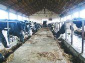 进口奶粉让奶农步履维艰 奶牛饲料差瘦骨嶙峋
