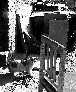 昨日,拆迁重建工地内,一只流浪猫走向喂食处。