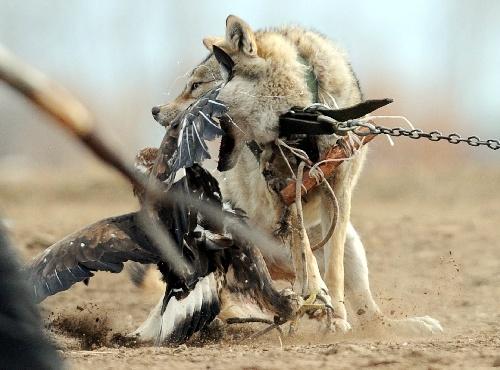 图文:吉尔吉斯斯坦狩猎节 一只狼在反击