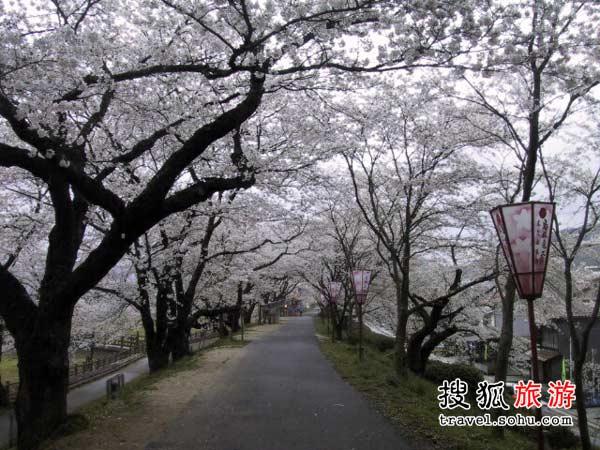 日本德岛县 眉山樱花盛开景象