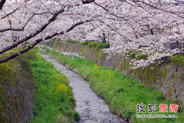日本山口县一坂川樱花盛开景象