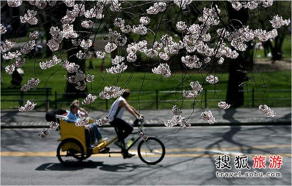 德岛中央公园樱花盛开景象
