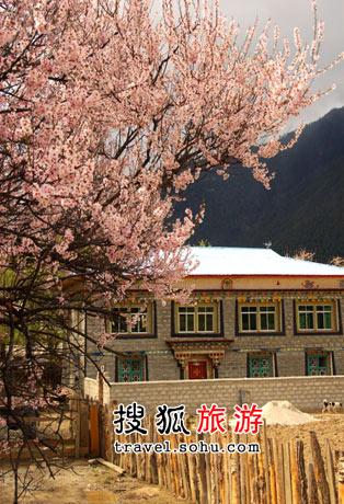 西藏林芝:阳光三月桃花狂