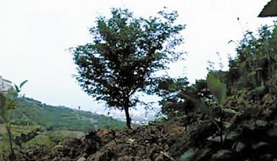 """这可能就是""""老三""""长眠的那棵山楂树"""