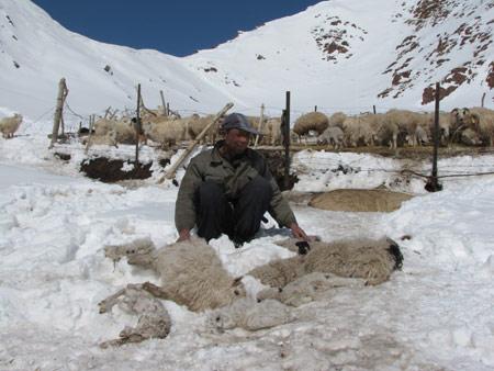 羊只被冻死,牧民心痛不已