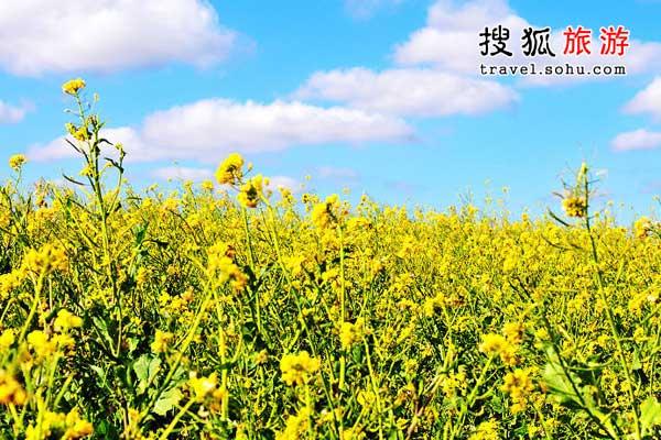 争奇斗艳的济州岛油菜花