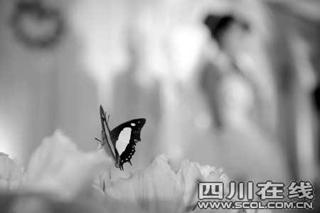 新郎为讨新娘开心 空运百只蝴蝶到婚礼现场(图