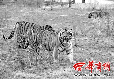昨日下午,西安秦岭野生动物园虎区内,东北虎生活悠闲本报记者宁峰摄