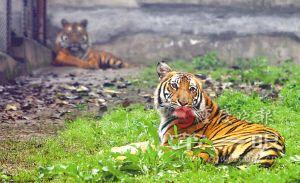 两只处在发情期的老虎正在培养感情 记者 钱波 摄