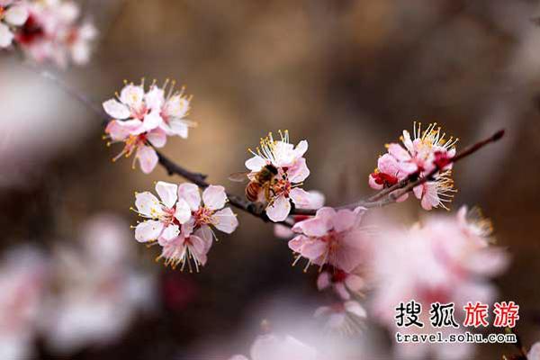 广州赏桃花好地 千叶桃花胜百花