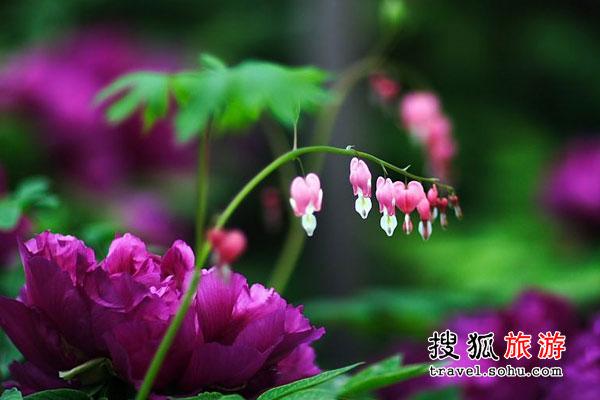 河南洛阳牡丹 花开时节动京城
