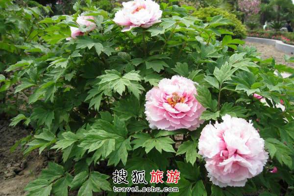 江苏省观赏牡丹好地 独占天下七分春