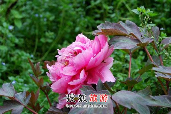 四川牡丹观赏好地 花瓣柔柔层层