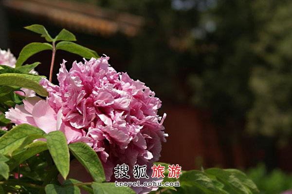 北京牡丹观赏地 君临天下 赏皇家名品牡丹