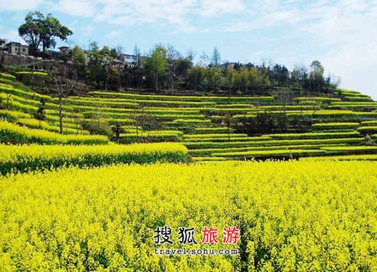 浙江油菜花观赏好地 坡上的花儿更娇艳