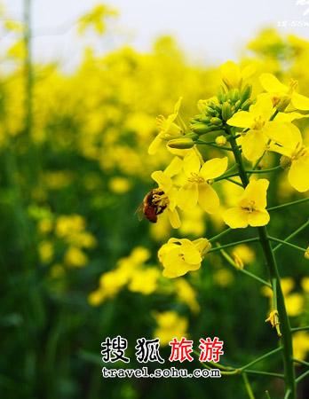 奉贤庄行镇 离上海45分钟的油菜花田