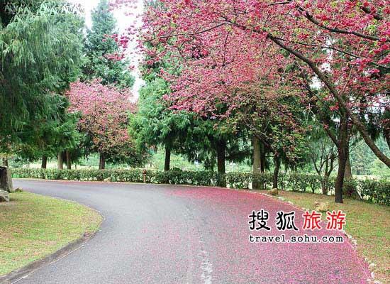 台湾樱花观赏地推荐  最爱那一抹绯红柔情