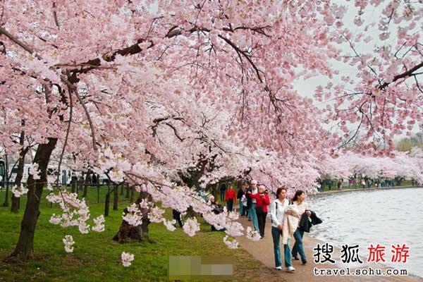 玉渊潭 北京最美丽的樱花雨