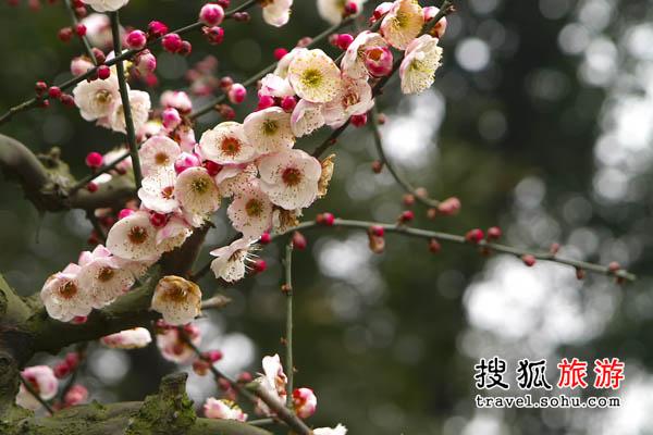 四川梅花 严寒之中一支花