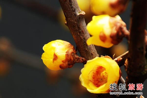 贵州梅花 古梅争艳