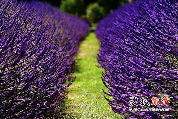 北京薰衣草 浪漫的紫海香堤