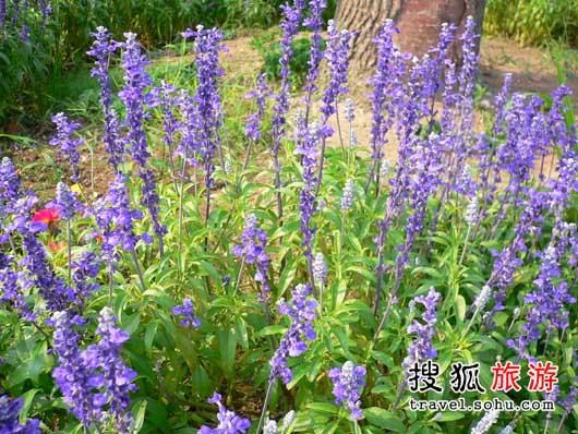 江苏省薰衣草 实验田里的花朵