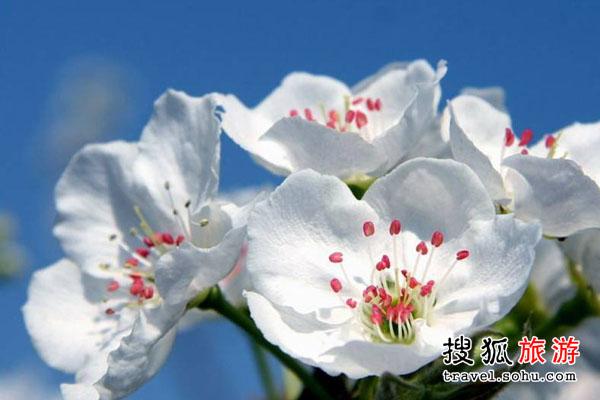 四月里来千树万树梨花开