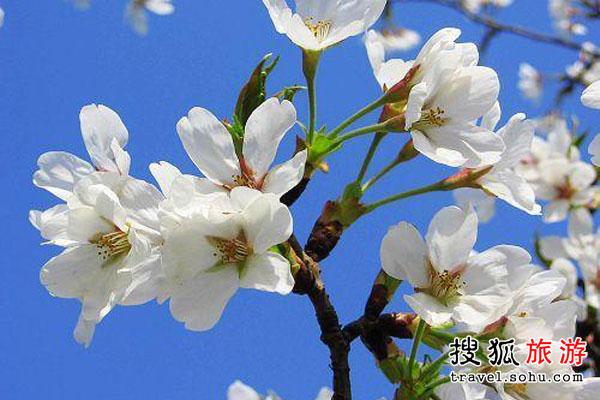 四川梨花 梨花似雪原