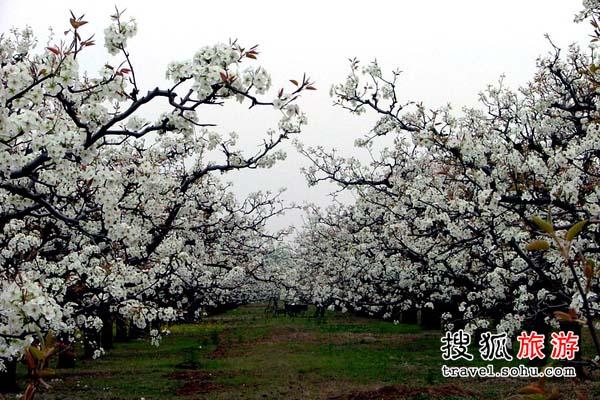 安徽梨花 空中赏梨花