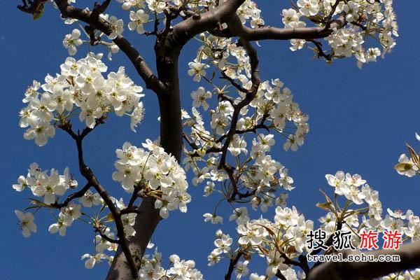 重庆梨花 花团锦簇