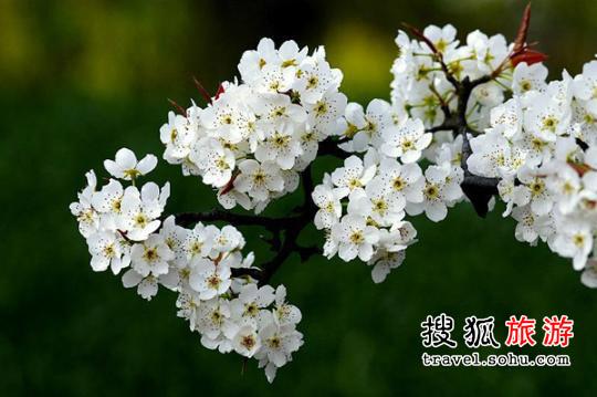 湖北梨花 梨花带雨春来早